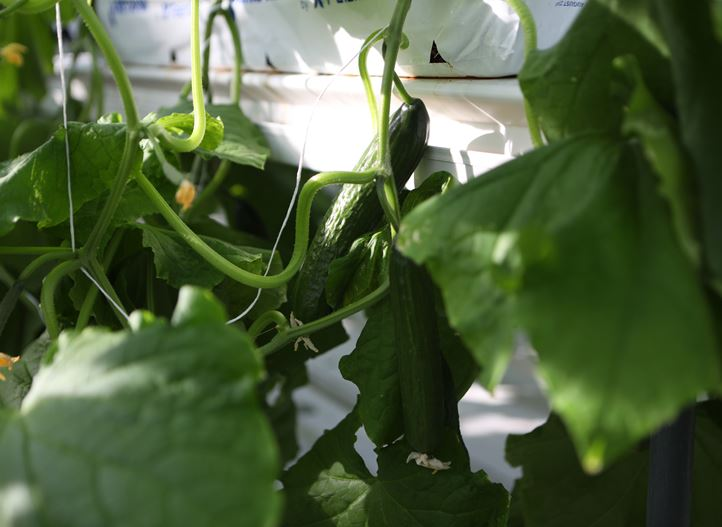 Optimal growing conditions for your cucumbers | Netafim